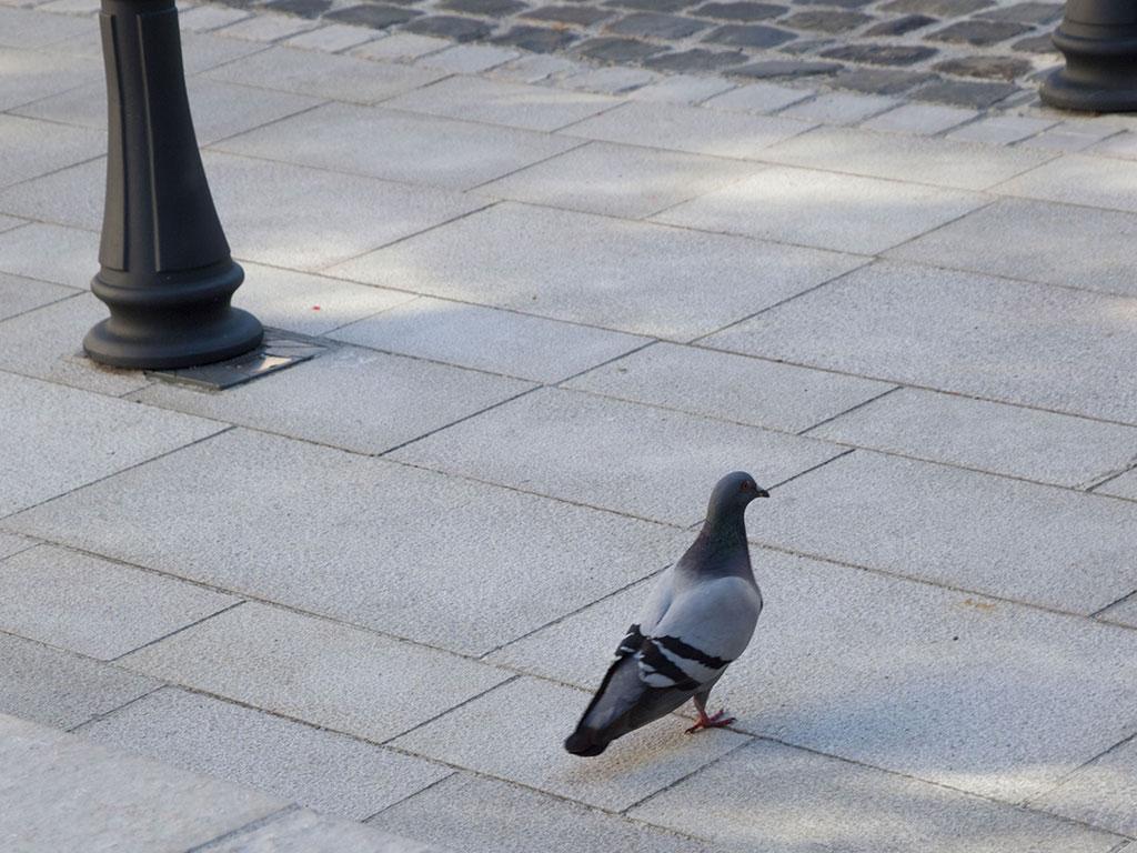 pigeon marchant sur le dallage